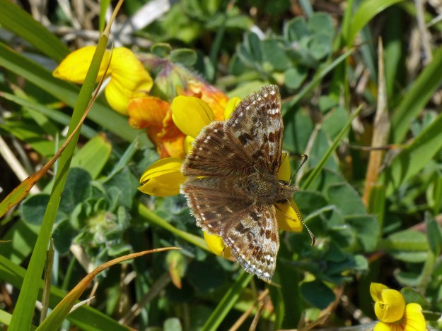 A brown butterfly with some paler markings nectaring on a yellow flower