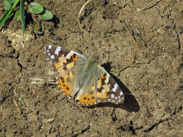 An orange butterfly with black and white markings resting on the ground