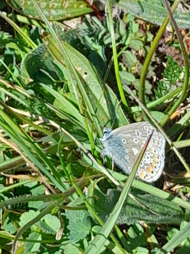 A blue and greyish butterfly with white, orange and black markings resting amongst green vegetation