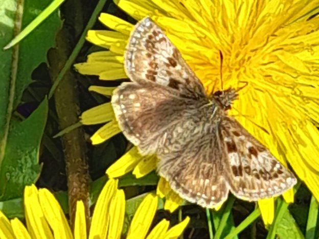 Brown and white butterfly on dandelion-type flower