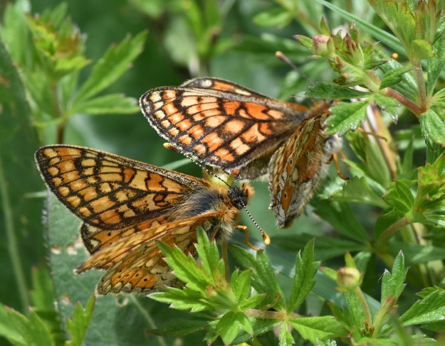 Two orange butterflies with black and yellow markings