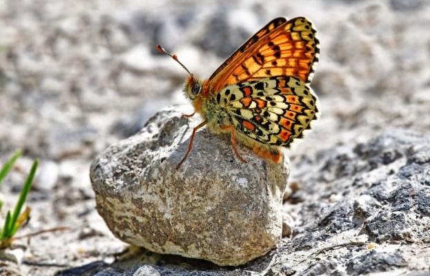 Orange butterfly with striking markings