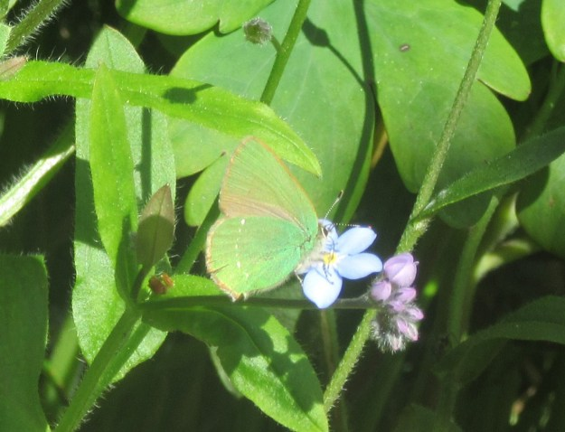 A green butterfly nectaring on a pale blue flower amongst some green leaves