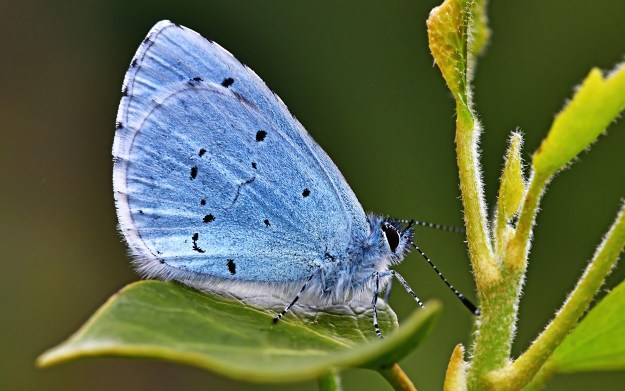 A blue butterfly with some black markings resting on a green leaf