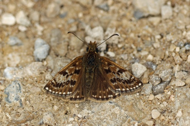 A resting brown butterfly with white and paler markings
