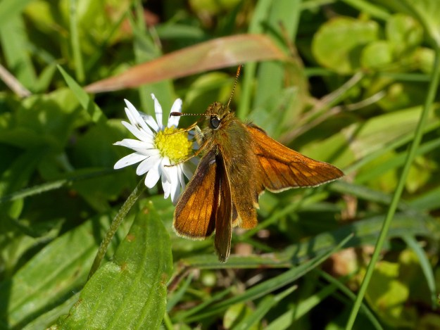 A golden brown buttterfly with some black markings nectaring on a white flower