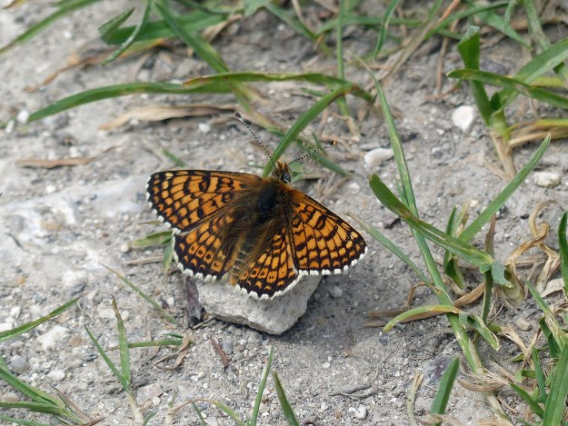View of a resting orange butterfly with black markings and white fringe to the wings