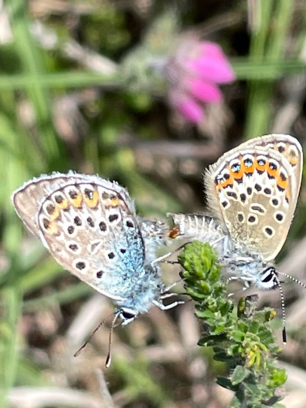 A view of two butterflies, one blue and greyish with orange, black and white markings and the other pale brown with orange, black , blue and white markings