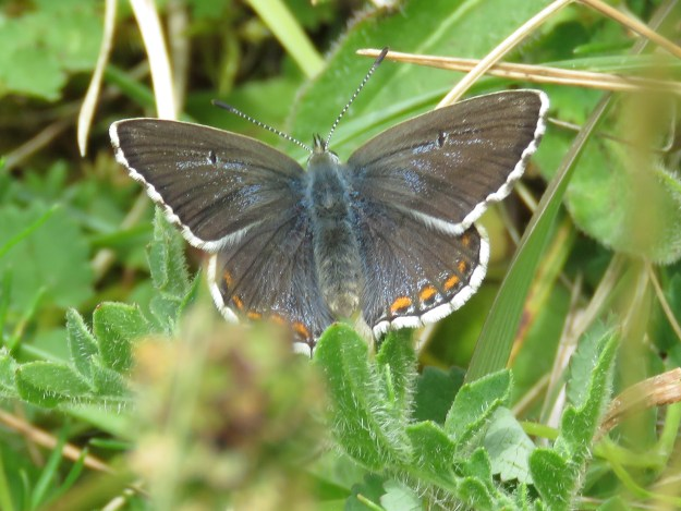 View of a blue and brown butterfly with some orange and black markings and a white fringe to the wings