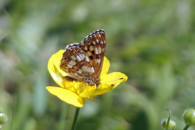 View of an orangy brown butterfly with black and white markings on a yellow flower