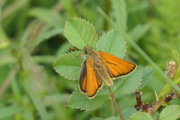 A brownish orange butterfly with some black markings resting on a green leaf