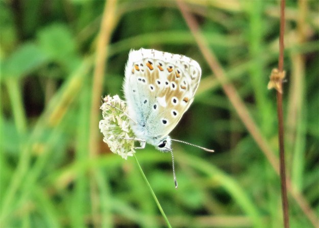 A pale brown and blue butterfly with black and white markings and a white fringe to the wings