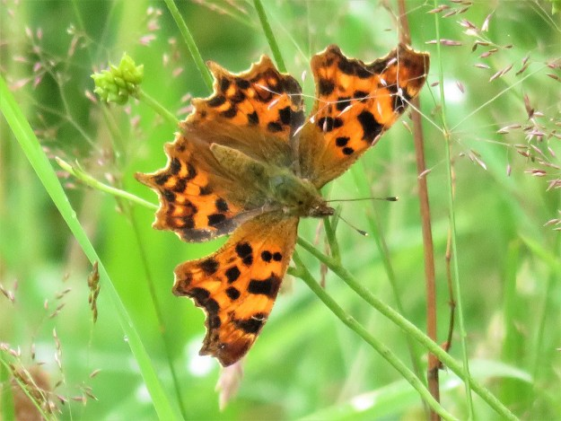 An orange butterfly with black markings resting on some green vegetation