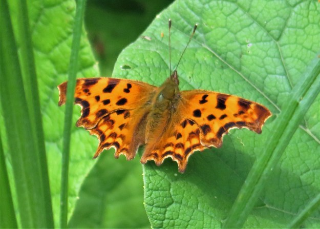 An orange butterfly with black markings resting on a green leaf