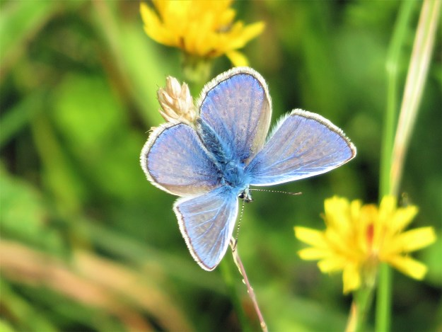 A blue butterfly with some black markings and a white fringe to the wings