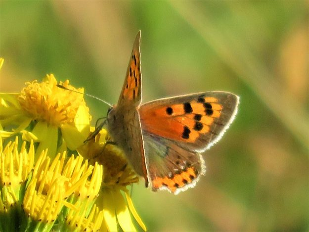 An orange and brown butterfly with black markings nectaring on a yellow flower