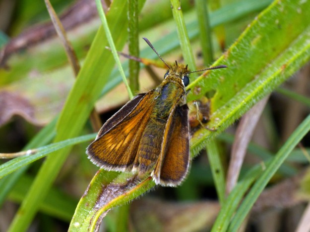 View of a golden brown butterfly on green vegetation