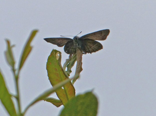 View of a perching brown butterfly with some pale markings