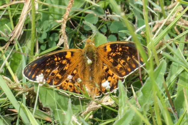 Ornge butterfly with a lot of drk brown messy marking