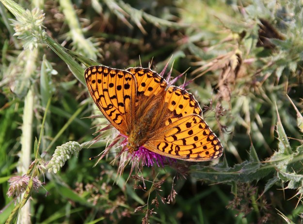 An orange butterfly with black markings nectaring on a pink flower