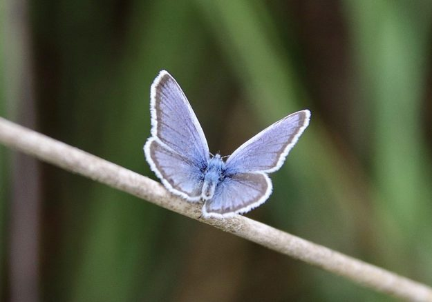 A resting blue butterfly with black markings and white fringe to the wings