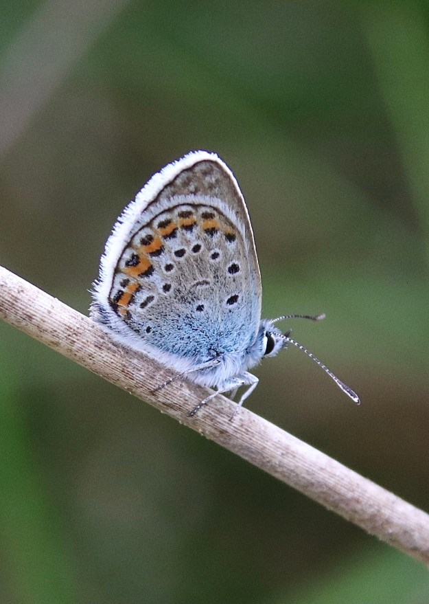 A resting blue and greyish butterfly with black, orange and white markings