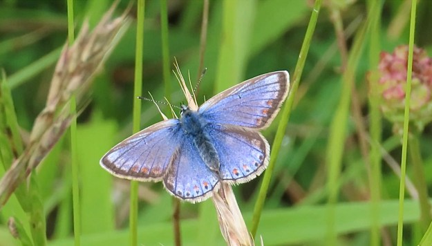 View of a resting blue butterfly with a white fringe to the wings and some black and red markings