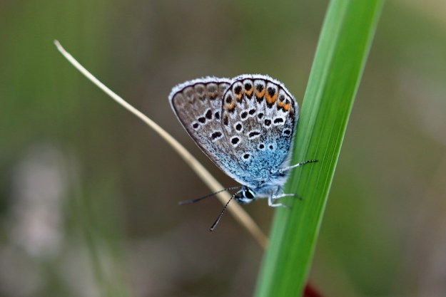 View of a blue and greyish butterfly with orange, black and white markings resting on green vegetation