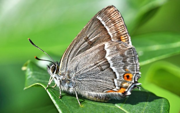 A greyish brown butterfly with orange, white and black markings on a green leaf