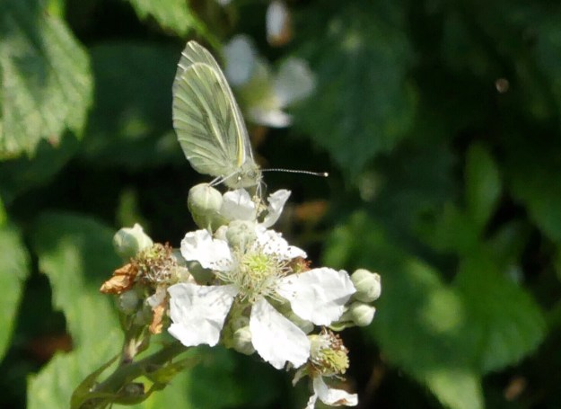 A greenish white butterfly with black markings nectaring on white flowers
