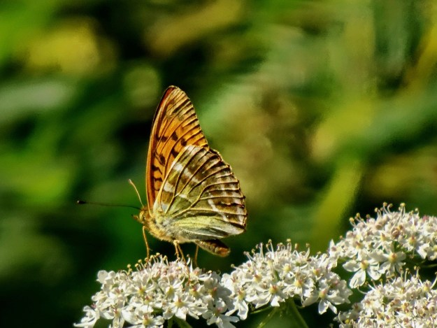 A brown and orange butterfly with black and white markings nectaring on a white flower