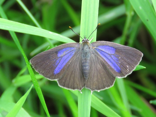A dark brown and blue butterfly resting on green vegetation