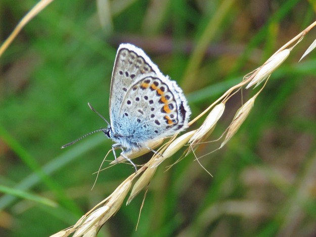 A blue and greyish butterfly with orange, black and white markings