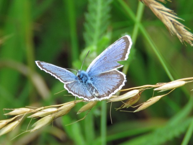 View of a blue butterfly with some black markings and a white fringe to the wings