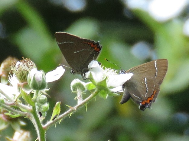 Two brown butterfles with black, white and orange markings nectaring on a white flower
