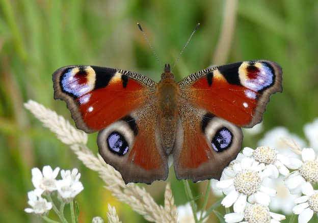 Chestnut-coloured butterfly with striking markings on all wings