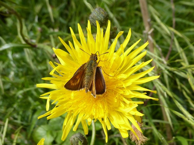 A brown butterfly with some gold markings nectaring on a yellow flower