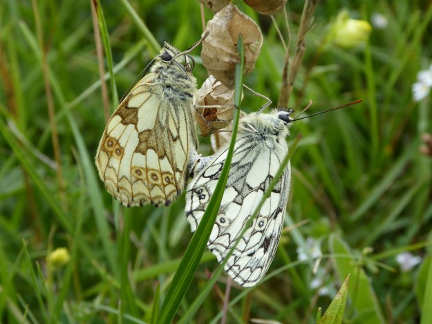 Two butterflies, one white with blackish markings and the other cream coloured with brown markings