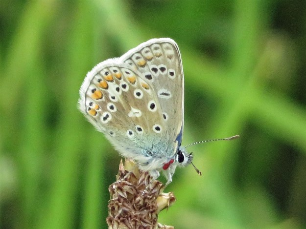 A view of a perching blue an greyish brown butterfly with black, white and orange markings