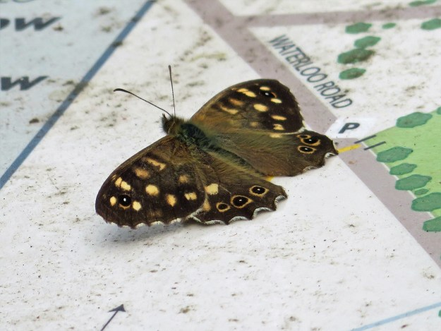 A brown butterfly with yellow markings resting on a white notice board