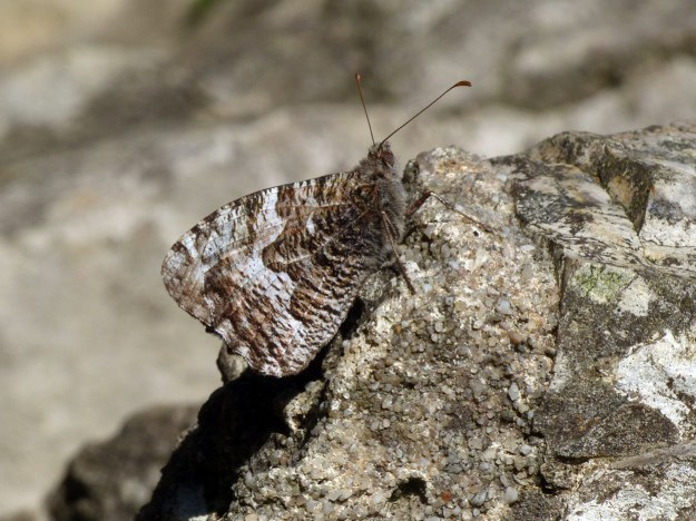 A greyish brown butterfly resting on a stone wall