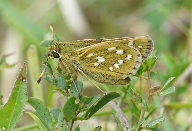 A brownish butterfly with white markings resting on a green leaves