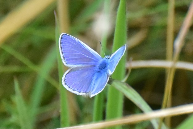 A blue butterfly with black markings and a white fringe to the wings resting on a green plant leaf