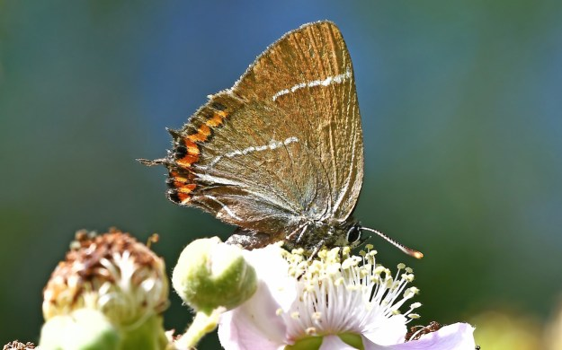A brown butterfly with orange, black and white markings on a white flower
