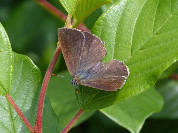 View of a brown butterfly on a green leaf