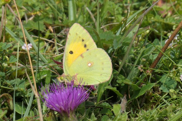A yellow butterfly with some black and white markings on a purple flower