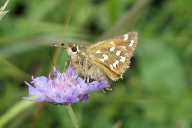 A brown butterfly with white markings nectaring on a lilac coloured flower