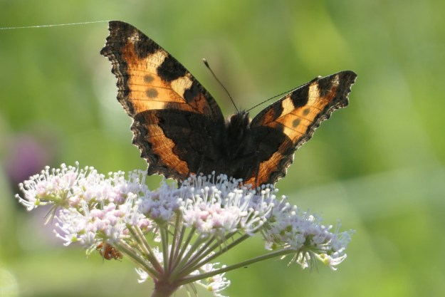 An orange butterfly with black and yellow markings on a pinkish white flower