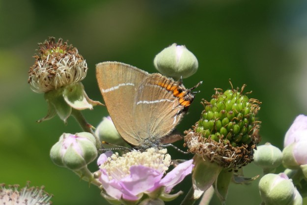 A brown butterfly with white, orange and black markings on a pink and white flower