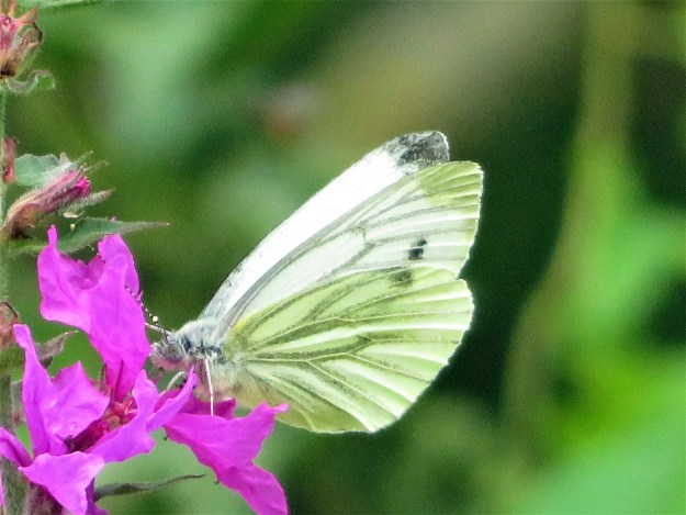 A greenish white butterfly with blackish markings nectaring on a magenta coloured flower